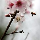 Cherry blossom bee by AdamRussell
