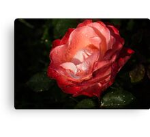 Chiaroscuro Rose – A Gift From My Mother's Garden Canvas Print