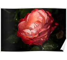Chiaroscuro Rose – A Gift From My Mother's Garden Poster