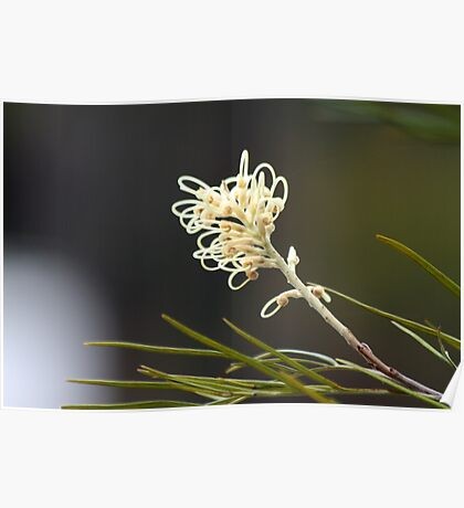 Grevilea Flowers Poster