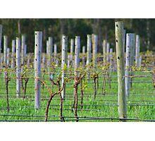 Vino Vines Photographic Print