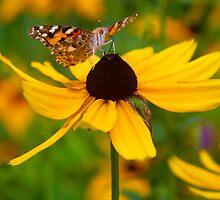 Drinking butterfly  by AdamRussell