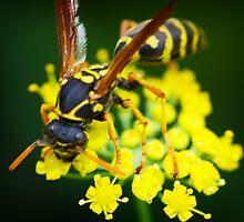 Wasp hunting by Chris Brunton