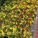 Chilli bed by AmandaWitt