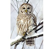 Barred Owl in winter Photographic Print