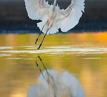 Great Egret, Ardea alba, landing at Lake Joondalup by Georgina Steytler