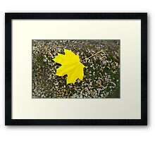 Single, large and yellow autumn maple leaf Framed Print