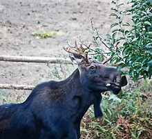 Moose Buffet by Brent Sisson