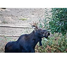 Moose Buffet Photographic Print