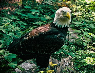 Majestic Bald Eagle by Bekah Reist