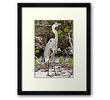 Curious Blue Heron Framed Print