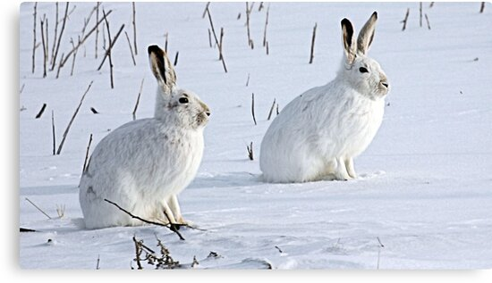 Hare There! North American Snowshoe Hare by Leslie van de Ligt