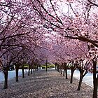 Cherry Blossoms in Bloom by lensharp