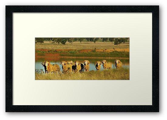 Merino Rams at Water by Phoebe Kerin
