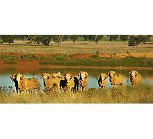 Merino Rams at Water Photographic Print