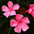 Oleander Flowers and Buds by Geoffrey Higges