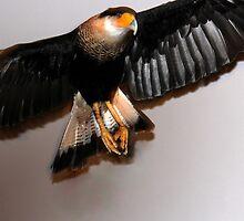 Caracara Flight by freevette