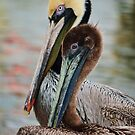 Pelican Couple by Diego Re