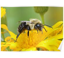 Rest a moment, Bumble bee Poster
