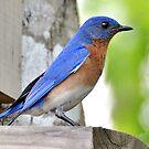 Mr. Bluebird by Kathy Baccari