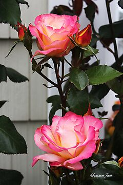 Roses on a Trellis by SummerJade