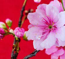 Cherry Blossom 1 by barnabychambers