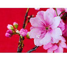Cherry Blossom 1 Photographic Print