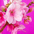 Cherry Blossom 3 by barnabychambers