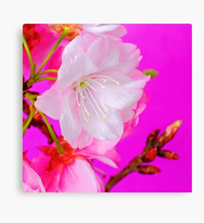 Cherry Blossom 4 Canvas Print