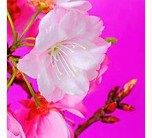 Cherry Blossom 4 Photographic Print
