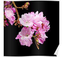Cherry Blossom 5 Poster