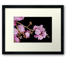 Cherry Blossom 6 Framed Print