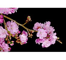 Cherry Blossom 6 Photographic Print