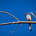 mountain bluebird by photosbycecileb