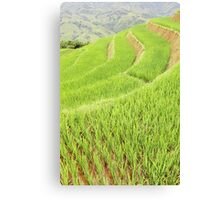 Rice in the Paddy Canvas Print