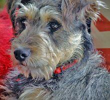 English Terrier Puppy by Karen Lewis