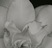 White Amaryllis by Lou Wilson