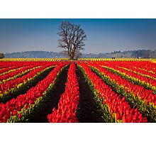Tree in Sea of Red Photographic Print