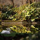 Swan at the pond side by Esther  Moliné