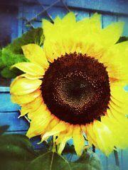 sunflower by ruthsemporium