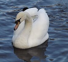 Beautiful white swan by jorafc