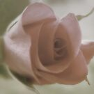 Old Rose  by Ann Persse