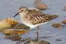Least Sandpiper by Todd Weeks