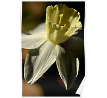 Pale White Flower, Pale Yellow Center Poster