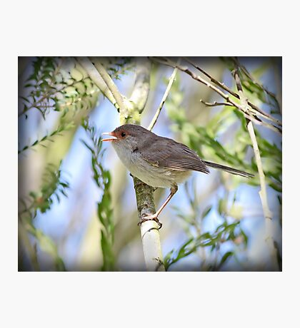 ~ Song Bird ~ Photographic Print