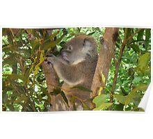 Koala Chair Poster