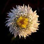 Desert flower by AdamRussell