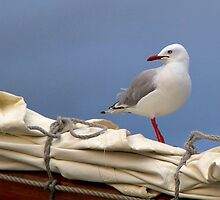 Seagull Posing by Pauline Tims