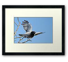 Black-faced Cuckoo Shrike Framed Print