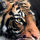 Sumatran Tigress - Close up by Sandra Chung